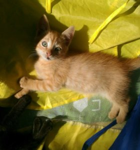 Рыжая кошка Томасина