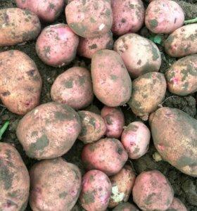 Картошка Синская красная