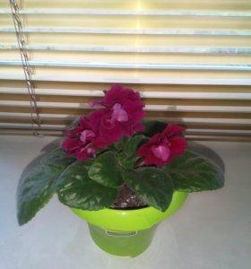 Фиалка(цветы крупные)
