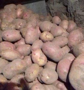 Продаю картошку