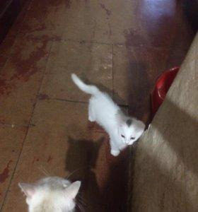 Отдам белого котёночка