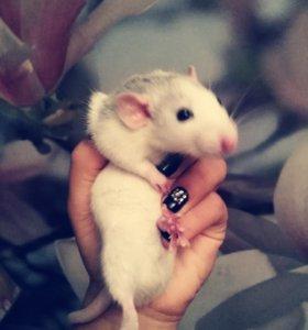Дружелюбные крыски