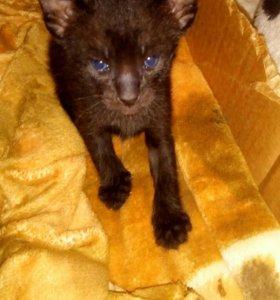Ориентальный котёнок темный шоколад.