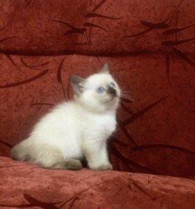Продам гималайских котят