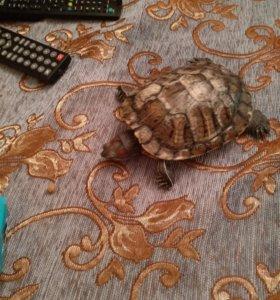 Красноухии черепахи