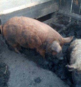 Свиньи венгерской мангалицы