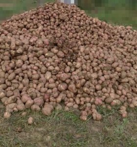 Синская картошка, красная отборная