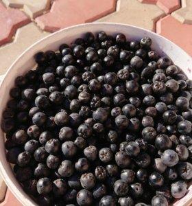 Продам черноплодную рябину(черноплодка)