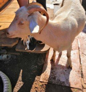 Продам козу доенную(молочную). Первый окот