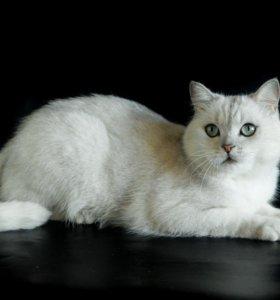 Серебристый британский кот.