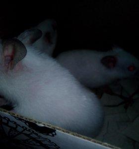 Срийский хомяк альбинос