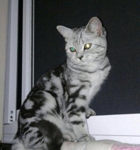 Вязка. Ищем настойчивого кота.