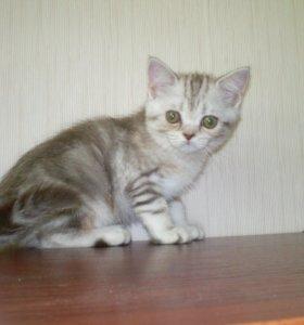 Шотландский котик и кошечка страйт
