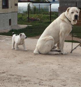 Вязка и продажа щенков Алабай