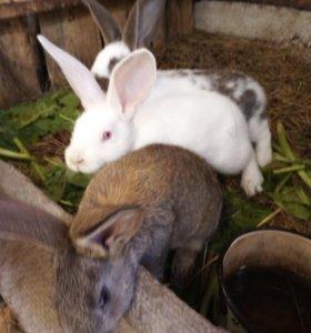 Мясные крольчата