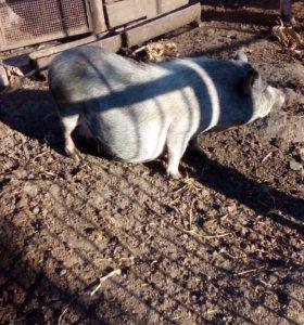 Свиноматка уже с брюхом