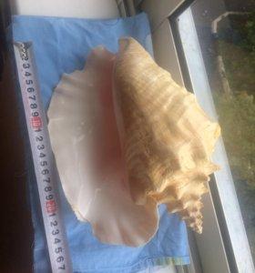 Раковина морская большая