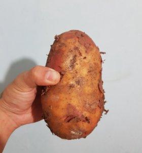 Картошка красная(намская)