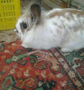 Кролик домашний