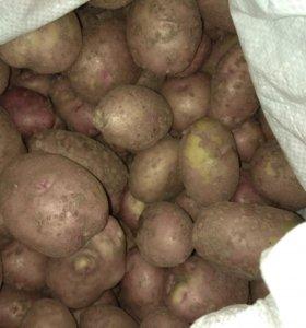 Картофель свежий из Покровска