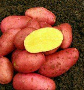 Самая Красная Картошка с доставкой.