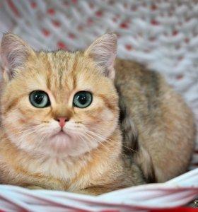 Чудесный золотой котик Коржик