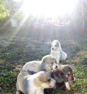 Продаются щенки СОА (Алабай)