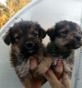 Отдам щенков в хорошие руки, девочки, 1,5 месяца