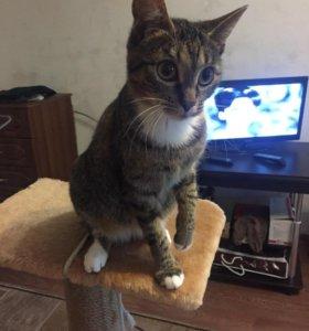 кошка камышового окраса 9 месяцев стерилизованная