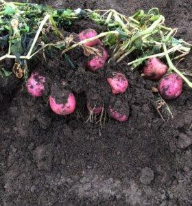 Красная картошка