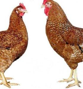 Семья кур