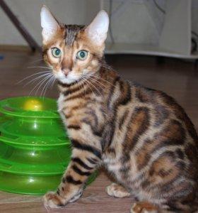 Бенгальский котик, готов к переезду