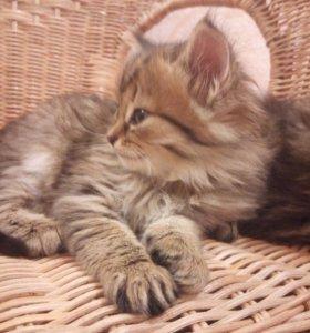 Котята 6 недель мальчик и девочка
