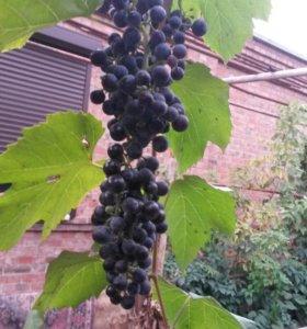 Виноград виный