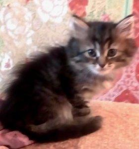 Отдам котят породы персидская шиншилла