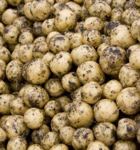 Картофель мелкий (на корм животным)
