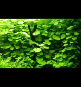 Щитолистник ( Гидрокотила белоголовая )