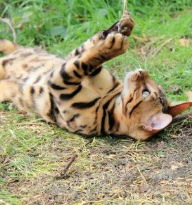 Бенгальский красавчик котик .
