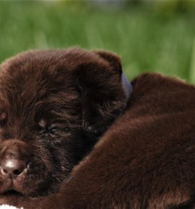 Шоколадные щенки в питомнике РКФ