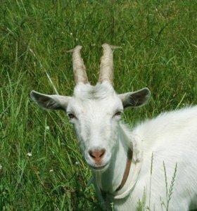 Хорошие козы