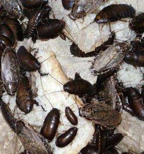 Сверчки и кормовые тараканы