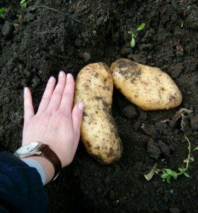 Картофель крупный 20 ведер