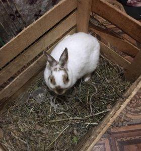 Кролик декоротивный