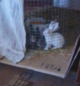Крольчата породы фландер. 4 месяца возраст.