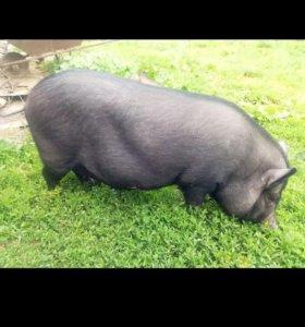 Вьетнамская свинка.