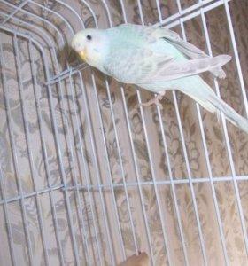 приму в дар волнистого попугая
