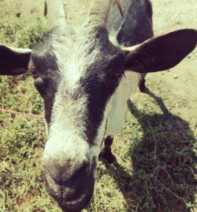 Коза дойная , коза