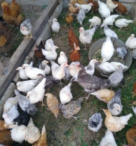 подрощенные Цыплята несушка