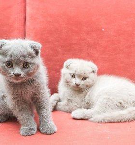 Британские котята мишки