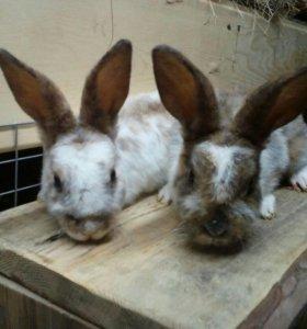 Кролики порода рэкс
